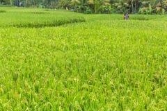 Groen padieveld bij Zonnige dag Landbouw Royalty-vrije Stock Foto's