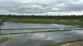 Groen padieveld in de lentetijd stock footage