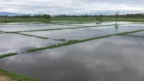 Groen padieveld in de lentetijd stock videobeelden
