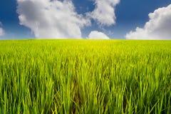 Groen padieveld en blauwe hemel royalty-vrije stock foto