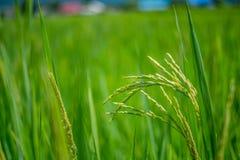 Groen padieveld met aard en blauwe hemelachtergrond Stock Foto