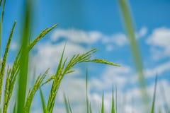 Groen padieveld met aard en blauwe hemelachtergrond Royalty-vrije Stock Foto's