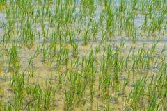 Groen padieveld met schoon water in de lente, achtergrond Royalty-vrije Stock Afbeelding