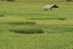 Groen padieveldterras Royalty-vrije Stock Afbeeldingen