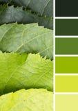 Groen palet van de natuurlijke bladeren van de Lindeboom stock foto