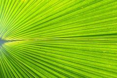 Groen palmblad Stock Afbeelding