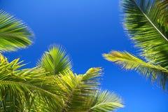 Groen palmenblad op blauwe hemelachtergrond Stock Afbeelding