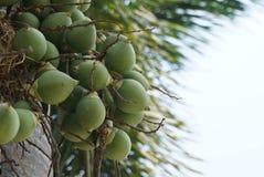 Groen palmfruit Stock Foto