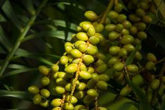 Groen palmzaad Stock Afbeeldingen