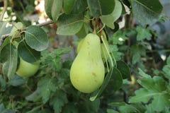 Groen perenfruit Royalty-vrije Stock Fotografie