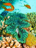 Groen reuzetweekleppig schelpdier Stock Afbeeldingen