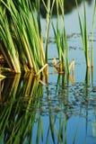 Groen riet in meer Royalty-vrije Stock Foto's