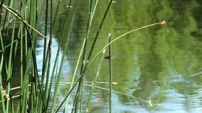 Groen Riet met Libellen en Vijver stock footage