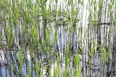 Groen riet op waterachtergrond Royalty-vrije Stock Afbeelding