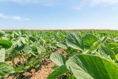 Groen rijpend sojaboongebied Rijen van groene sojabonen Sojaplanta Stock Fotografie