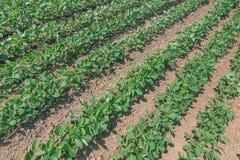 Groen rijpend sojaboongebied Rijen van groene sojabonen Sojaplanta Stock Foto