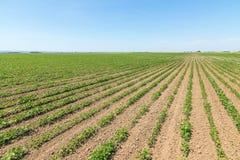 Groen rijpend sojaboongebied Rijen van groene sojabonen Sojaplanta Royalty-vrije Stock Afbeelding