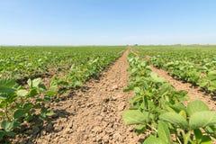 Groen rijpend sojaboongebied Rijen van groene sojabonen Sojaplanta Royalty-vrije Stock Fotografie