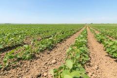 Groen rijpend sojaboongebied Rijen van groene sojabonen Sojaplanta Royalty-vrije Stock Foto's
