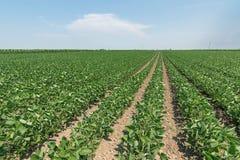 Groen rijpend sojaboongebied Rijen van groene sojabonen Sojaplanta Royalty-vrije Stock Foto