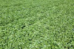 Groen rijpend sojaboongebied Rijen van groene sojabonenantenne Royalty-vrije Stock Foto's
