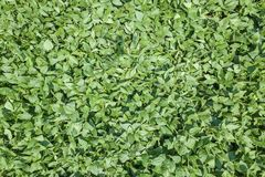 Groen rijpend sojaboongebied Rijen van groene sojabonenantenne Stock Foto