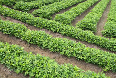 Groen rijstlandbouwbedrijf Royalty-vrije Stock Foto