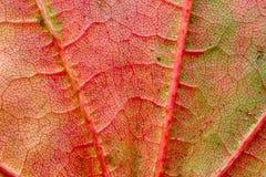 Groen-rood blad stock foto
