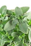 Groen Sage Lush Plant royalty-vrije stock afbeelding