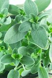 Groen Sage Lush Plant stock afbeeldingen