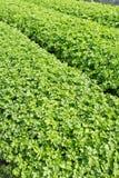 Groen selderiegebied Royalty-vrije Stock Afbeeldingen