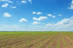 Groen sojaboongebied, Rijen van jonge groene sojabonen landbouw Royalty-vrije Stock Fotografie