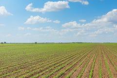 Groen sojaboongebied, Rijen van jonge groene sojabonen landbouw Stock Foto
