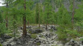 Groen sparbos op mos en van de rotsenpijnboom Bomen, onaangeroerde sparren, die in bergen groeien Wilde aard van Siberië, de zome stock videobeelden