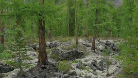 Groen sparbos op mos en van de rotsenpijnboom Bomen, onaangeroerde sparren, die in bergen groeien Wilde aard van Siberië, de zome stock video