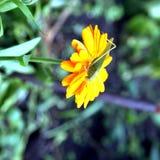 Groen sprinkhanen drinkwater op de gele bloem Stock Foto's