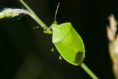 Groen stink Insect stock foto's