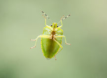 Groen stink Insect Royalty-vrije Stock Fotografie