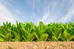 Groen tabaksgebied met duidelijke blauwe hemelachtergrond Tabaksinstallatie Royalty-vrije Stock Afbeeldingen