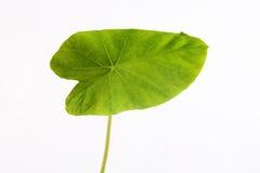 Groen taroblad Stock Afbeelding