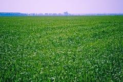 Groen tarwegebied Stock Afbeeldingen
