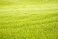 Groen tarwegebied Stock Foto's