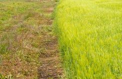 Groen tarwegebied Stock Fotografie