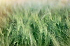 Groen tarwegebied, onrijp gewassengebied dat door zonlicht, tarwe, haver, rogge, gerst wordt aangestoken - onrijp landbouwgebied stock afbeelding