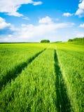 Groen tarwegebied Weg op een groen gebied van tarwe Sporen van landbouwvervoer op het gras op een zonnige dag Stock Foto