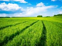 Groen tarwegebied Weg op een groen gebied van tarwe Sporen van landbouwvervoer op het gras op een zonnige dag Royalty-vrije Stock Afbeelding