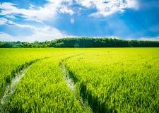 Groen tarwegebied Weg op een groen gebied van tarwe Sporen van landbouwvervoer op het gras op een zonnige dag Royalty-vrije Stock Foto's