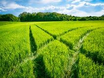 Groen tarwegebied Weg op een groen gebied van tarwe Sporen van landbouwvervoer op het gras op een zonnige dag Stock Afbeeldingen