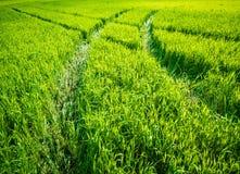 Groen tarwegebied Weg op een groen gebied van tarwe Sporen van landbouwvervoer op het gras op een zonnige dag Royalty-vrije Stock Fotografie
