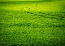 Groen tarwegebied Weg op een groen gebied van tarwe Sporen van landbouwvervoer op het gras op een zonnige dag Royalty-vrije Stock Afbeeldingen